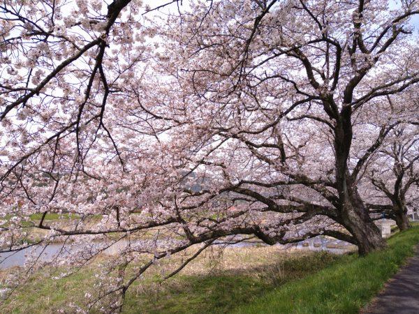 南部町 桜が見頃です🌸